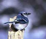Blue jay bird feeders