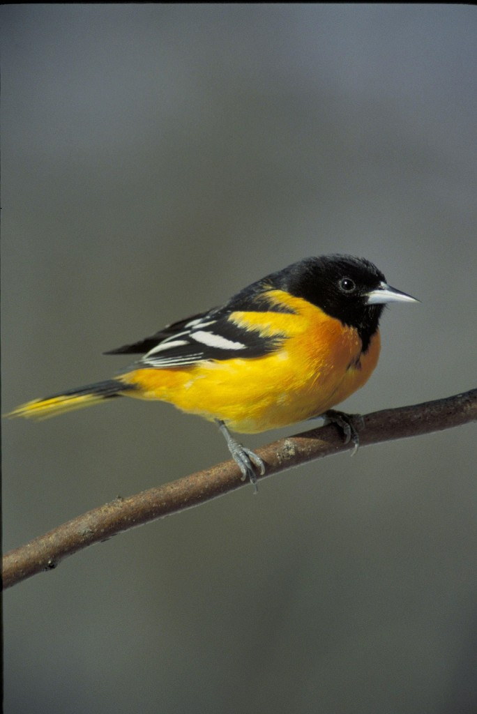 Attracting orioles to your garden